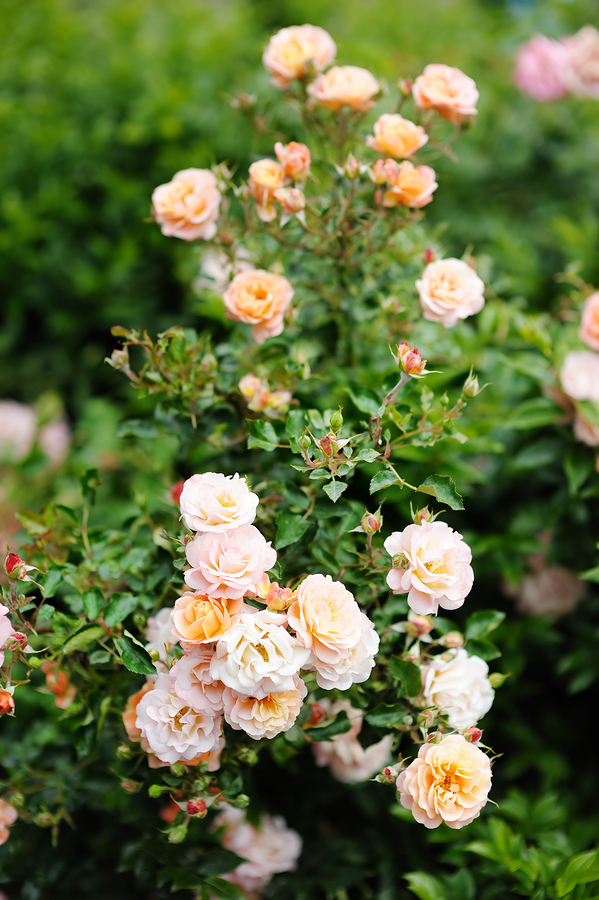 bigstock-Detail-Of-Roses-Bush-As-Floral-153681344.jpg