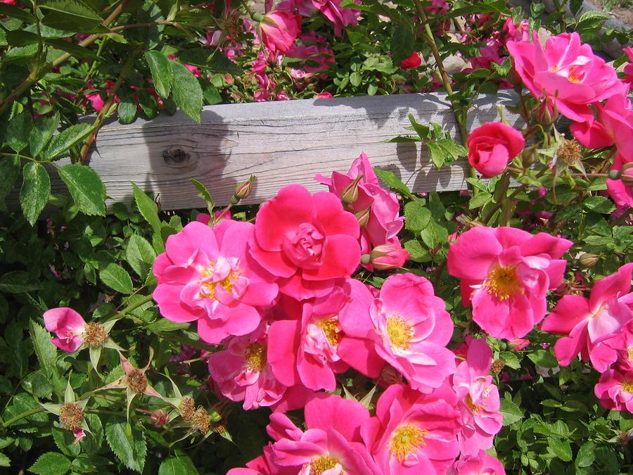 bigstock-pink-rose-1210687.jpg