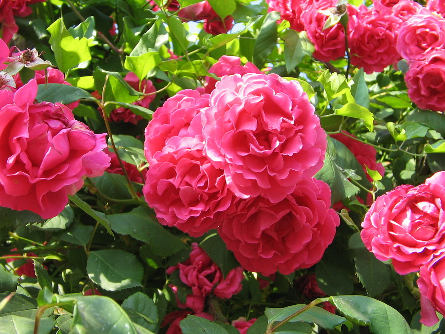 bigstock-roses-19005083.jpg